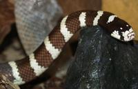 Image of: Lampropeltis zonata (California mountain kingsnake)
