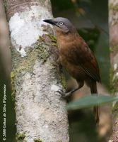 Ashy-headed Laughingthrush - Garrulax cinereifrons