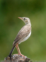 Richard's Pipit - Anthus richardi
