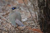 Olive-capped Coua (Coua (ruficeps) olivaceiceps) photo