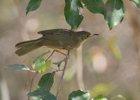 Long-billed Greenbul (Phyllastrephus madagascariensis) photo