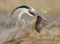 Great Blue Heron (Ardea herodias) photo