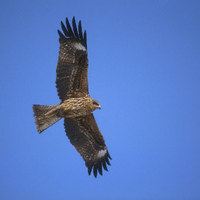 Black-eared Kite (Milvus lineatus) photo