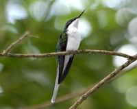 Black-eared Fairy - Heliothryx aurita