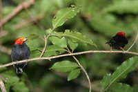 Red-headed Manakin - Pipra rubrocapilla