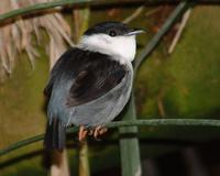 A bird with more gray (maybe from Brazil) was photographed by