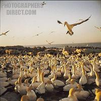 ...Cape gannet coming in to land at the colony on Bird Island . West Cape . South Africa . stock ph