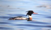 바다비오리 Red-breasted Merganser Mergus serrator