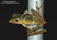 : Polypedates otilophus; File-eared Tree Frog