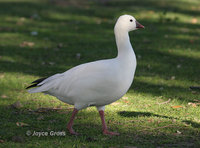 : Chen rossii; Ross's Goose