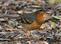 : Ixoreus naevius; Varied Thrush