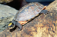 : Cuora trifasciata; Chinese Three-striped Box Turtle