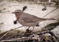 Fig. 1. Black-throated Thrush : 검은목지빠귀