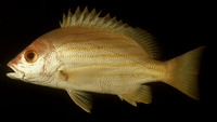 Lutjanus dodecacanthoides, Sunbeam snapper: fisheries