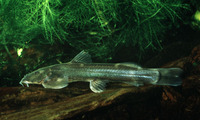 Amphilius uranoscopus, Stargazer mountain catfish: fisheries, aquarium