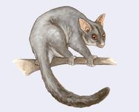 Image of: Trichosurus vulpecula (silver-gray brushtail possum)