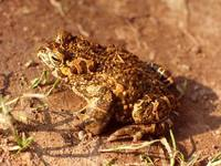 Bufo viridis - European Green Toad