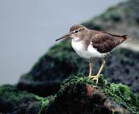 Image of: Actitis macularius (spotted sandpiper)