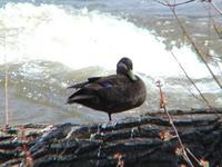 Image of: Anas rubripes (American black duck)