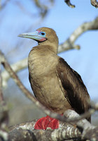 Photo: A red-footed booby on a tree branch