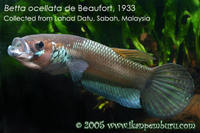 Betta ocellata