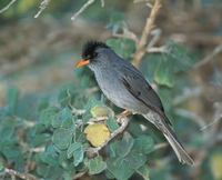 Madagascar Bulbul (Hypsipetes madagascariensis) photo