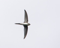 Fork-tailed Palm-Swift (Tachornis squamata) photo