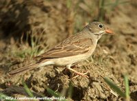 Gray-hooded Bunting - Emberiza buchanani