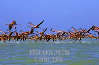 Caribbean Flamingos starting ( Phoenicopterus ruber ) Yucatan , Mexico stock photo