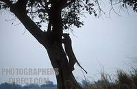 Lion climbing a tree , panthera leo , Kafue National Park , Zambia stock photo