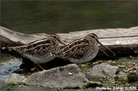 꺅도요 [common snipe]
