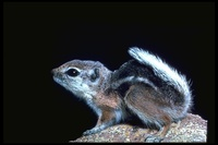 : Ammospermophilus leucurus; Antelope Ground Squirrel
