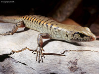 Rainforest Skink