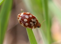 Myrrha octodecimguttata - Eighteen-spot Ladybird