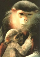 photograph of douc langur and baby : Pygathrix nemaeus