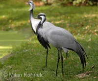 Anthropoides virgo - Demoiselle Crane