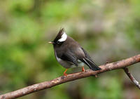 Image of: Yuhina diademata (white-collared yuhina)