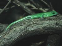 Lamprolepis smaragdina - Green Tree Skink