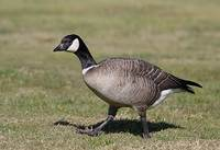 Cackling Goose (Branta hutchinsii) photo