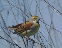 Dickcissel (Spiza americana) photo