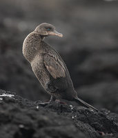 Flightless Cormorant (Phalacrocorax harrisi) photo