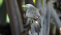 Yellow-billed Babbler - Turdoides affinis