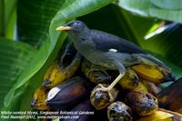 White-vented Myna - Acridotheres grandis