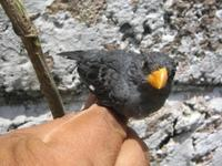 Gray Seedeater - Sporophila intermedia