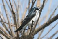 *NEW* White-rumped Swallow