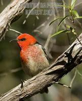 ...Australian native bird , scarlet red honeyeater , Myzomela sanguinolenta , in a Queensland rainf