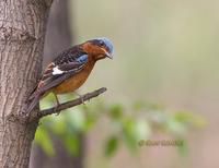 White-throated rock thrush C20D 03783.jpg