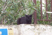 : Felis silvestris; Domestic Cat