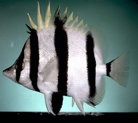 Amphichaetodon melbae, Narrow-barred butterflyfish: aquarium