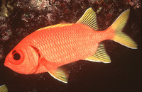Myripristis chryseres, Yellowfin soldierfish: